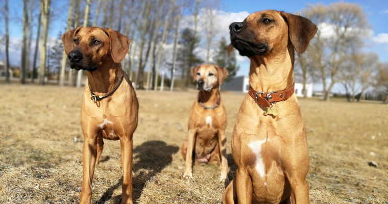Ridgeback girls in the Spring